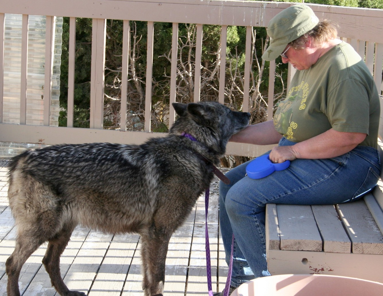 Viewing Gallery For - Doberman Wolf Hybrid